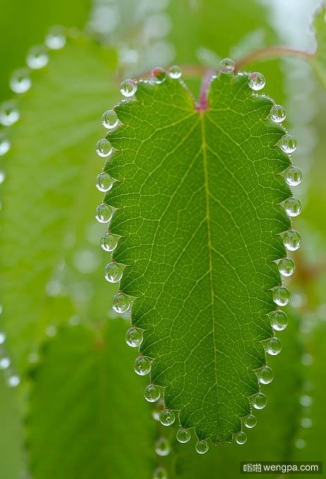 清晨树叶上整齐的露珠 强迫症者看着是不是很爽