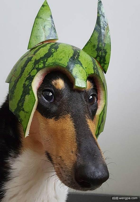 【搞笑狗狗图片】西瓜头盔牧羊犬战士 - 嗡啪搞笑狗狗图片