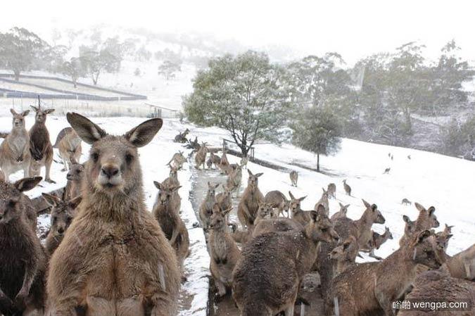 澳大利亚下雪 袋鼠都感到困惑 - 嗡啪搞笑动物