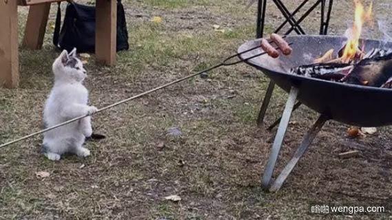 懂得生活的喵星人 烤着火腿非常认真