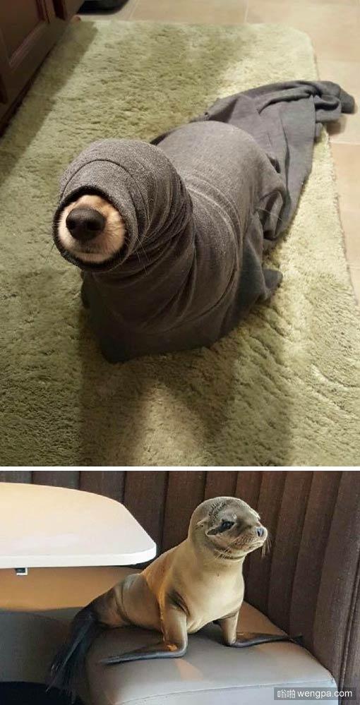 我认为这是一只狗狗 而不是海豹