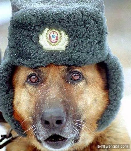 俄罗斯警犬