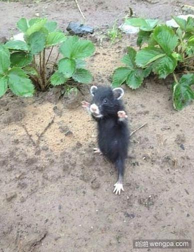 【可爱小老鼠萌宠图片】站起来了!我的草莓!- 嗡啪萌宠图片