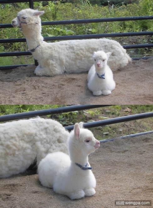 日本动物园里有一对亲子羊驼,感觉羊驼宝宝好萌萌喔ヽ(✿゚▽゚)ノ
