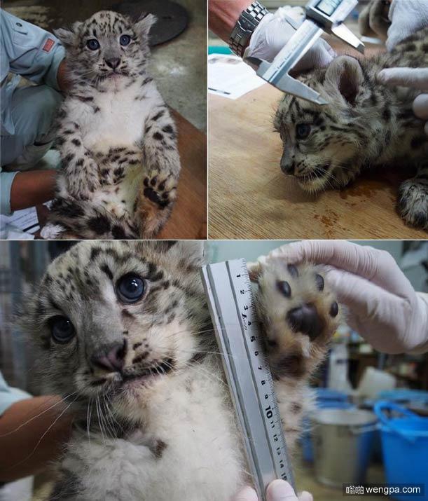 旭山动物园的雪豹宝宝正在接受身体测量 被萌化了