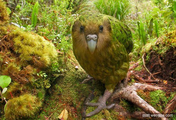 鸮鹦鹉 可爱的 像狗一样的鸟 新西兰极度濒临物种
