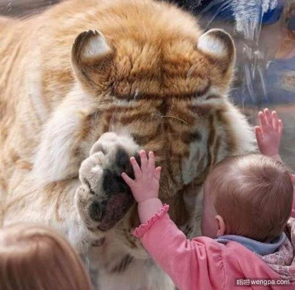 【小孩搞笑图片】give me five 宝宝和老虎击掌-嗡啪搞笑图片