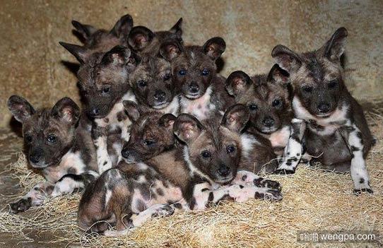 一群野狗宝宝 居然很可爱