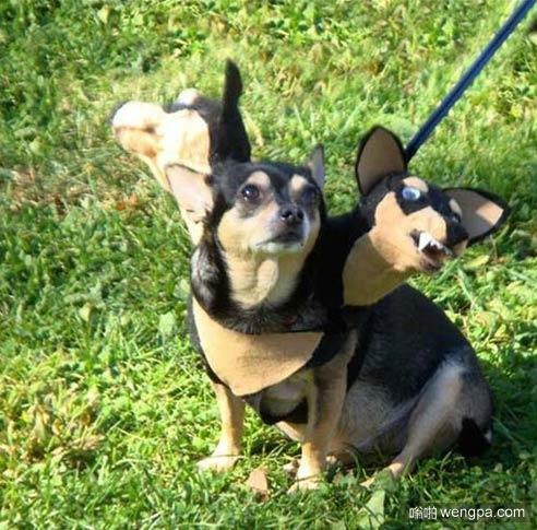 【搞笑三头狗狗图片】很想看看其它狗狗见到会是神马反应-嗡啪搞笑狗狗