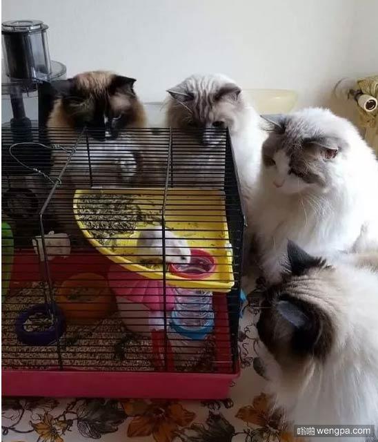 【搞笑猫猫图片】猫猫围观老鼠 - 嗡啪搞笑动物