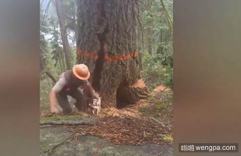 【视频】这树成精了!男子伐木树干突然爆炸
