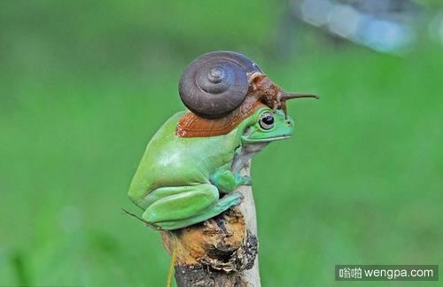"""摄影师拍""""蛙牛合体"""" 蛙牛和谐相处奇特画面"""