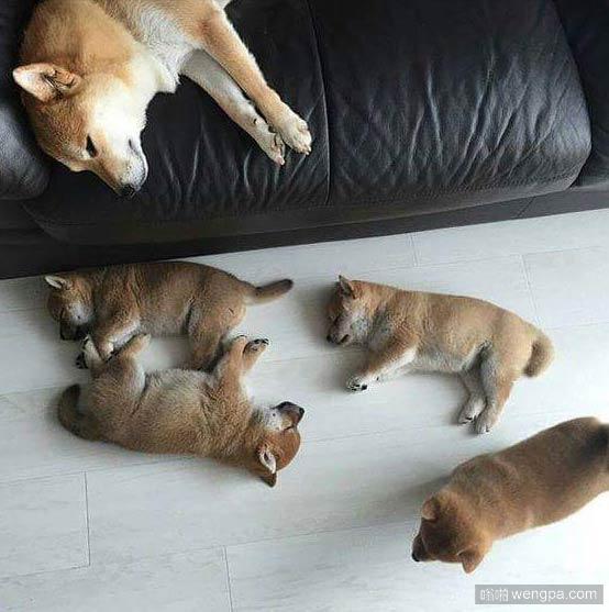 幸福的柴犬妈妈显然已经累了