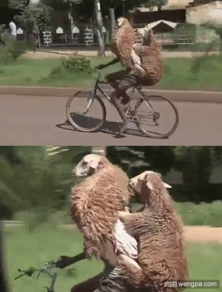 非洲兄弟开挂 骑自行车带两只活羊