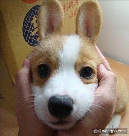 【柯基犬狗狗萌宠图片】兔子柯基犬 - 嗡啪萌宠图片