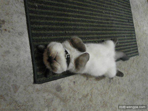 小猫中午吃饱后 随时随地就昏睡过去了