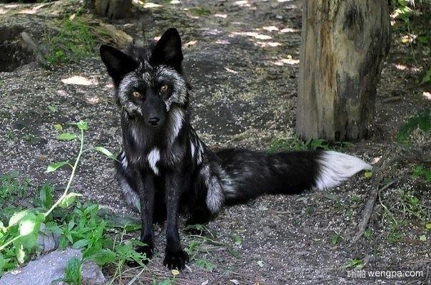 黑色狐狸 萌宠黑色狐狸图片-嗡啪萌宠动物