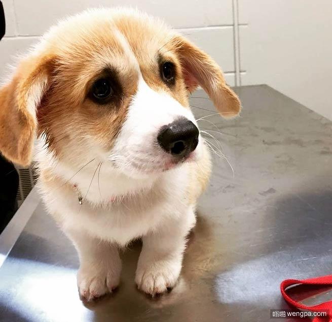 柯基第一次看兽医