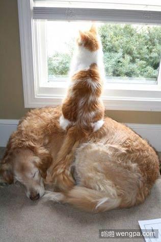 不要以为这猫欺负狗狗 其实它们在秀恩爱