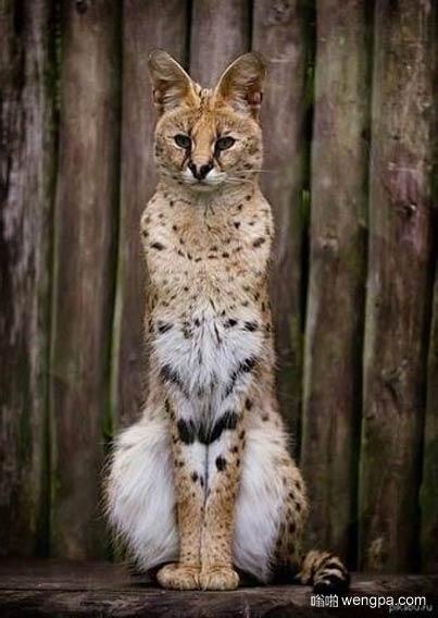 可爱的卫兵 薮猫萌宠图片