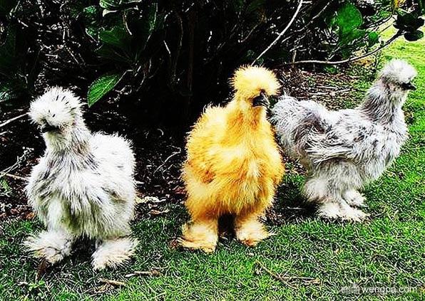 丝羽乌骨鸡 – 毛茸茸的鸡