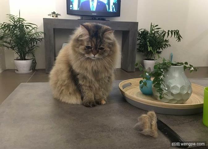 我所做的只是刷我的猫。现在,它看上去很悲伤,它失去了头发