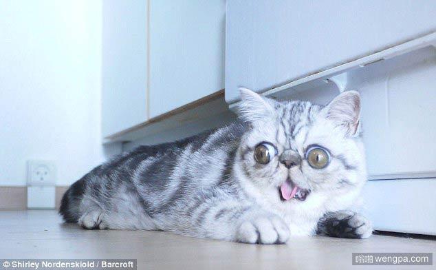 惊讶的猫!小猫赫尔曼所有时间看起来都像吓坏了