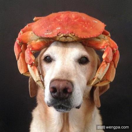 论拉布拉多狗狗Chester的平衡力 头顶这些美食它完全能hold住