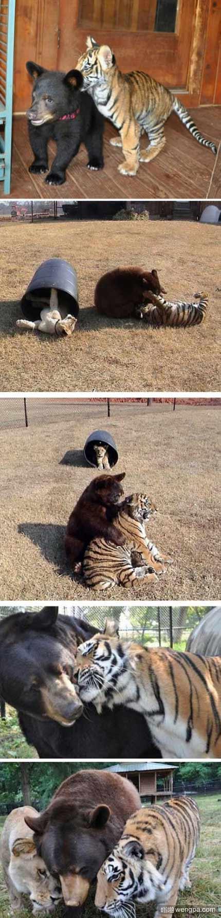 小老虎、狮子和棕熊从毒贩手中救出后长大了 它们亲如兄弟