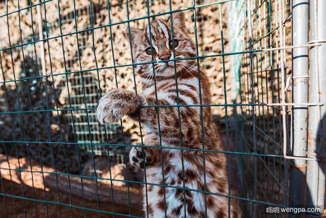 远东阿穆尔豹猫