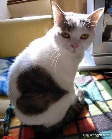 """身上有桃心的""""爱心小猫""""萌宠图片"""