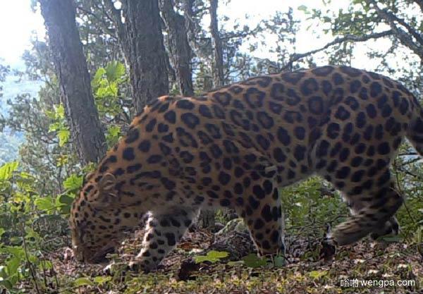 黑龙江拍到野生东北豹 全世界只剩70只左右