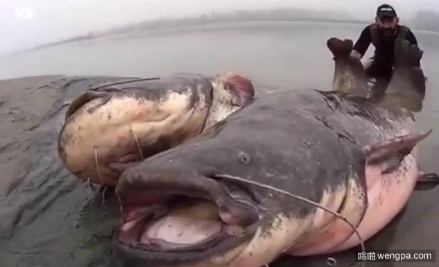 巨型鲶鱼 这东西可以吃小孩了