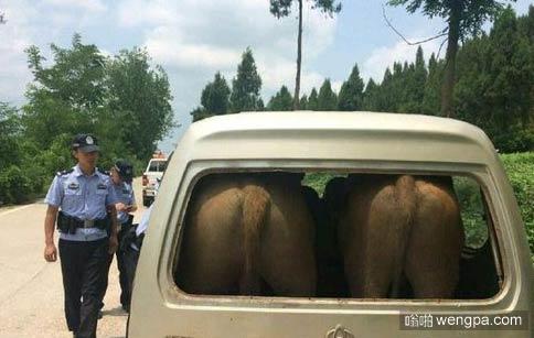 四川遂宁小面里边塞进两头牛 交警看呆