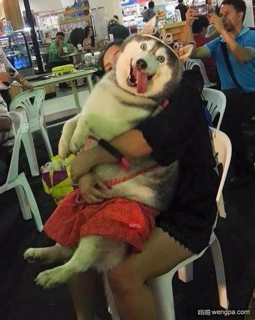 """""""我很满意"""" 二货哈士奇搞笑表情图片_搞笑狗狗 - 嗡啪搞笑动物"""