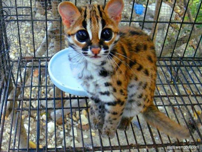 捡到一只大眼睛猫 这是保护动物么