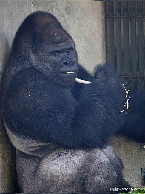东山动物园内那只超帅气的猩猩シャバーニ又有园拍了