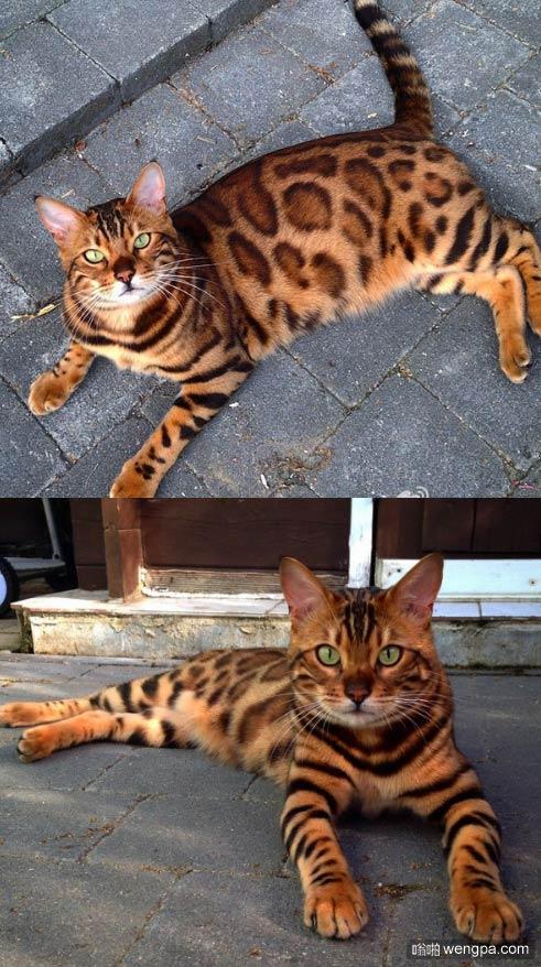 看爪子像老虎,看背像豹子的孟加拉猫Thor_萌宠孟加拉豹猫价格 - 嗡啪网