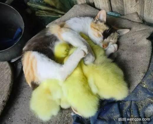 猫咪有小黄鸭抱枕熟的很香甜