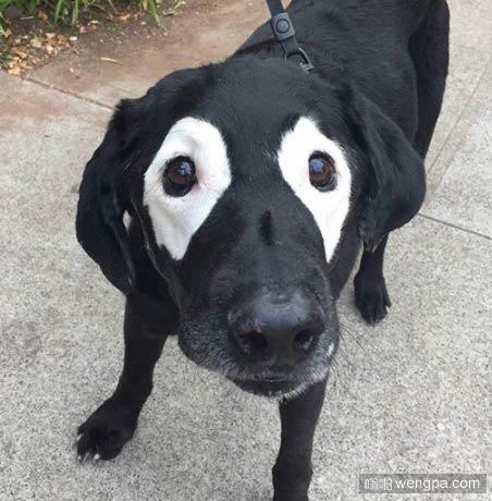 反色熊猫狗