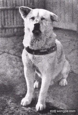 忠犬八公。日本,1925年