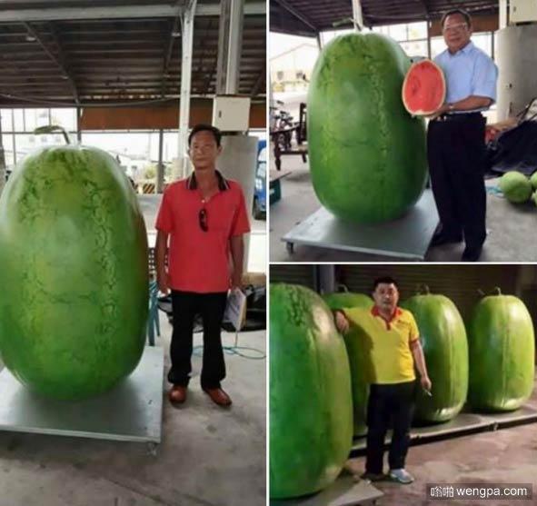 台湾巨型西瓜 有一个成年人那么高 - 嗡啪奇闻趣事