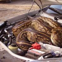 英国一对夫妇Marlene和Leon在南非旅行,他们在草原上看狮子,旁边突然窜出来一条蟒蛇,并很快消失在车底下,他们等了一会,蟒蛇毫无踪迹,于是只能继续旅程,开过3英里,停在最近的检查点,打开车盖后,才发现原来蟒蛇藏在了车盖下面。最后,蟒蛇自己逃走了。
