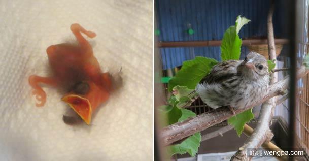 国外小伙路边捡回嗷嗷待哺小雏鸟 抚养成鸟后选择放归自然