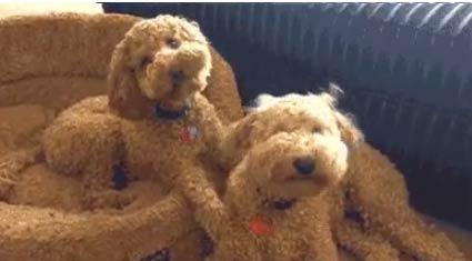 【搞笑狗狗图片】傻傻分不清哪里是狗哪里不是狗 - 嗡啪搞笑狗狗