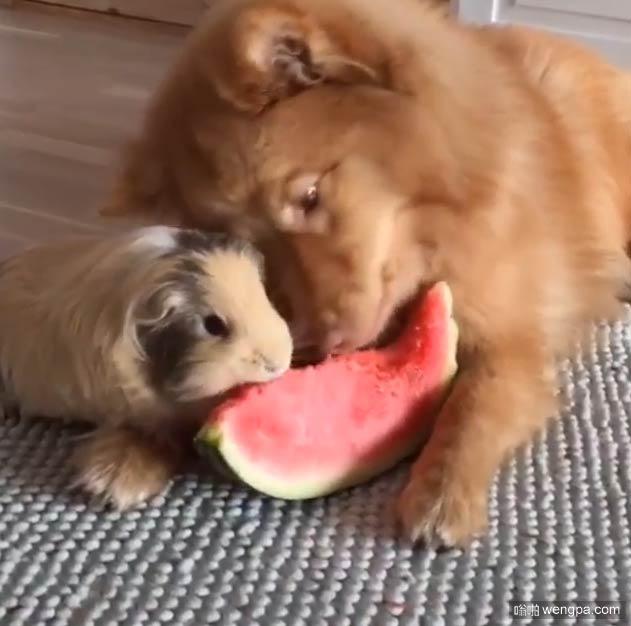 狗狗吃西瓜萌宠图片