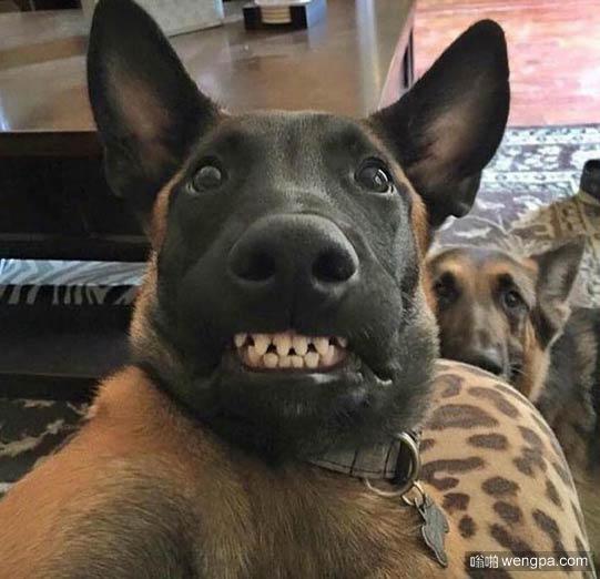 狗狗尴尬自拍 狗狗自拍搞笑图片