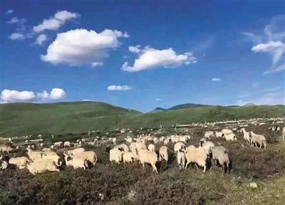 草原上被放生的羊群。本版图片/网友供图