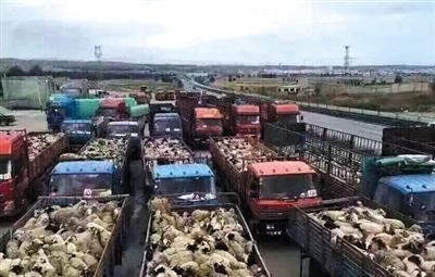 数十辆卡车载着羊群前往放生目的地色达草原。