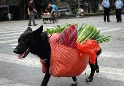 穷人的狗狗早当家 狗狗上街买菜回来